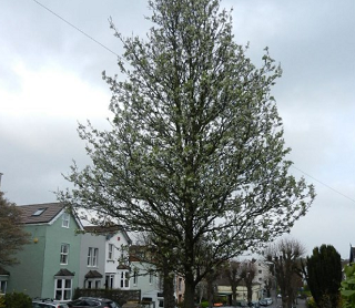 Egerton road trees